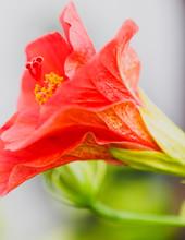 Red Hibiscus Closeup