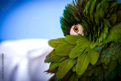 Portrait of a parrot that hides its head in the wing Wallpaper Mural