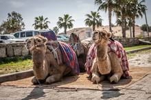 A Pair Of Camels Are Sitting A...