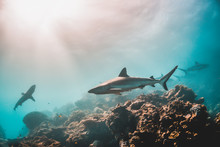 Grey Reef Shark Swimming Among...