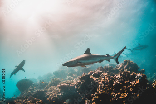 Fotografie, Tablou Grey reef shark swimming among coral reef in the wild
