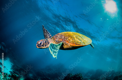 Fotografie, Obraz Green sea turtle swimming in the wild among colorful coral reef