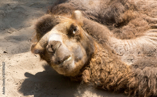 Camel, resting in the shade of the trees in the zoo of Santiago Canvas Print