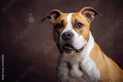 Beautiful American Staffordshire Terrier Fototapete