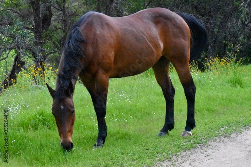 Thoroughbred horse in meadow grazing