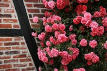 Bush Of Beautiful Pink Roses N...