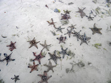 Starfish On The Shore Of The P...
