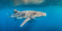 Whale Shark Swimming In The Wi...