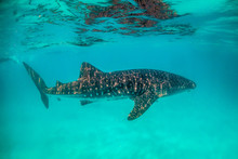 Beautiful Large Whale Shark Swimming In The Clear Blue Open Ocean