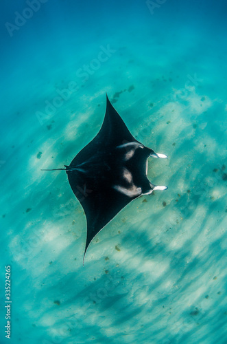 Tablou Canvas Manta Ray swimming peacefully in the wild in clear blue water