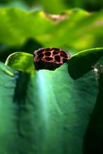 Dark Brown Beautiful Lotus Seedpod In The Pond