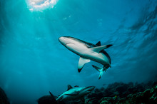 Grey Reef Shark Swimming In Cl...