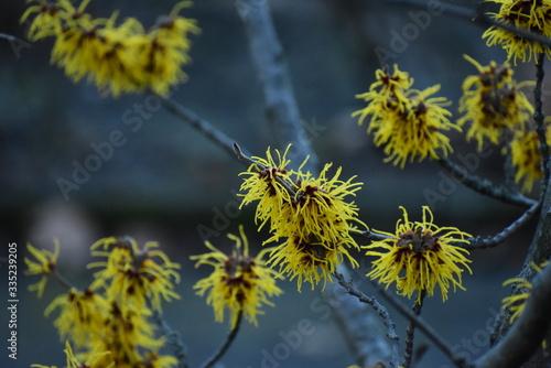 Fotografía Witch hazel hamamelis mollis growing in Viktoriapark Berlin Germany