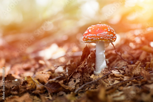 specimen of fly agaric in an autumn mountain forest. Canvas Print