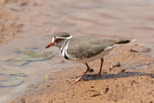 One Threebanded Plover At A Dam In Mokala National Park In South Africa