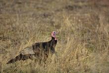 Wild Turkey Walking In Meadow