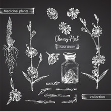 Realistic Botanical Ink Sketch Of Chicory Root, Flowers, Powder, Bottle Isolated On Chalkboard Background, Floral Herbs Collection. Medicine Plant.
