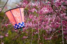 満開の桜と提灯