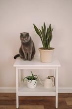 Grey Cat Breed Scottish Fold S...
