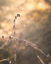 Spider's Web On A Field At Sun...