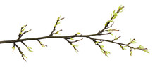 Spring Twig With Sprouted Buds And Small Green Leaves