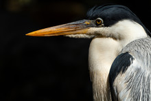 Close Up Of A Great Grey Heron