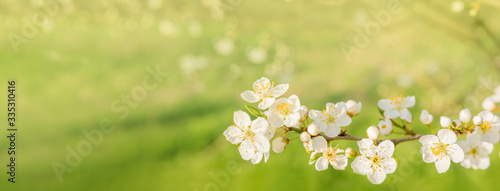 Foto white cherry blossoms on green spring background