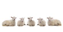 Five Lying Sheep Isolated On A...