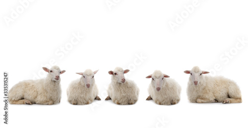 Fotografia, Obraz five Lying sheep isolated on a white background.