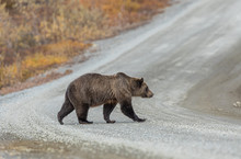 Grizzly Bear On The Road In De...