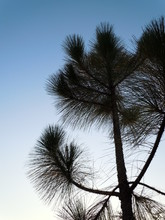 Pine Tree Against Blue Sky