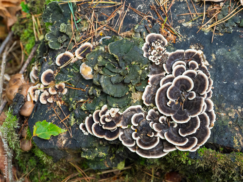 Fotografie, Obraz Crust fungi on rotting wood