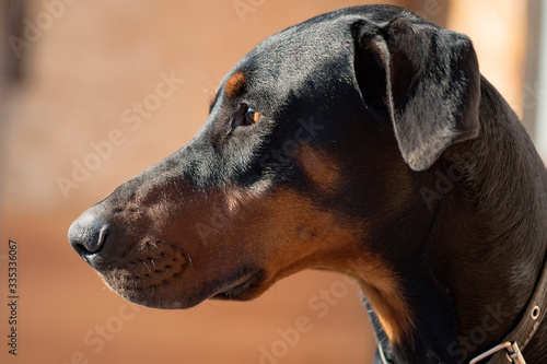 Tela Doberman dog head with ears. Portrait of a left side view.