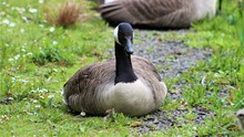 Canada Goose Resting On The Grass