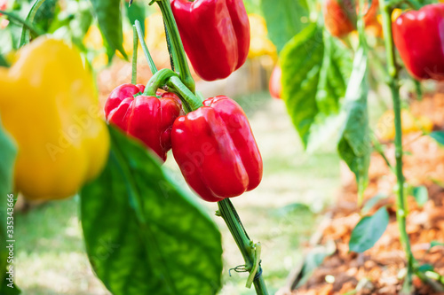 Photo Red bell pepper plant growing in organic garden