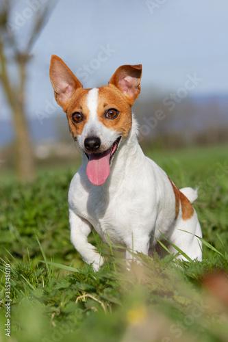Portrait of nice Jack Russell terrier on meadow © lenkadan