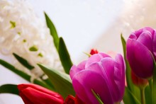 Red And Pink Tulips, White Hya...