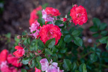 Coral Drift Rose, Close Up Blo...