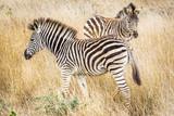 Plains Zebra / Zebra das Planícies (Equus quagga)