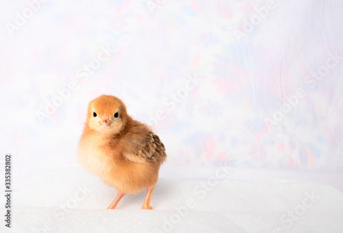 Slika na platnu Coco the Rhode Island Red baby chick 4