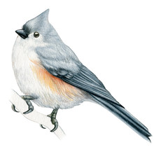 Titmouse Hand Drawn Watercolor...