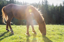 Brown Horse Grazing In Sunny I...