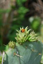 Ladybug Nestled On Cactus Crown
