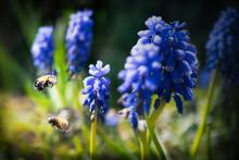 Two Bees Flying Near Grape Hyacinths In Springtime Sunshine