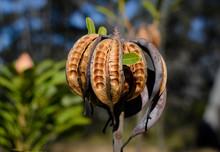 Waratah Seed Pods, Muogamarra ...