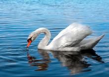 White Swan Drinks Water On The Lake