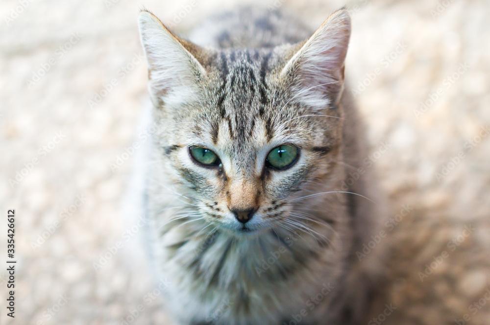 Fototapeta gato, felino ,mirada felina , cat
