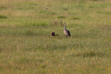 Adult Sandhill Crane With Baby