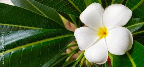 Leinwand Poster white frangipani flower