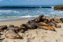 Sea Lions Fighting On The Beach